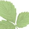 leavs_green_11