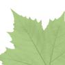leavs_green_9